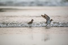 Birds in the beach. Pair of plover birds playing in the beach Royalty Free Stock Images