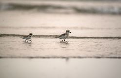 Pair of birds on the beach. Pair of plover birds walking on the beach in the evening Royalty Free Stock Images