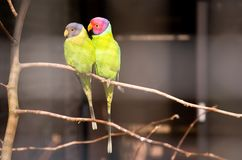 Pair of plum-headed parakeet. S. Park Avifauna, the Netherlands Stock Images