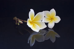 Pair Plumeria Reflection. A Pair of Pure Plumeria Acutifolia Flowers Reflect from the black background royalty free stock photo