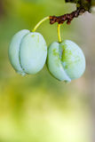 Pair of plums Stock Photo