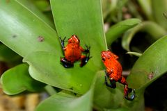 Pair of Poison-dart Frogs Dendrobates pumilio royalty free stock photography