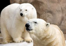 Pair of Polar Bears. Two curious large polar bears Royalty Free Stock Photos