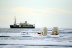 Pair of polar bears with bloody kill seal in water between drift ice with snow, blurred cruise chip in background, Svalbard, Norwa Stock Photography
