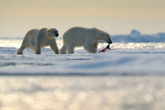Free Pair Polar Bears With Seal Pelt After Feeding Carcass On Drift Ice With Snow And Blue Sky In Arctic Svalbard. Seal Fur Coat In Pol Stock Photography - 91579342