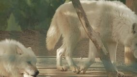 Pair of polar wolves at the zoo canis lupus tundrarum stock video