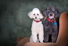 A Pair of Poodles Portrait Stock Image