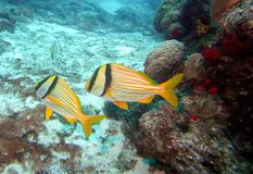 A Pair of Porkfish Swim the Cozumel Island Reef stock images