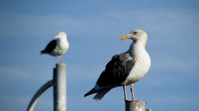 A pair of posing seagulls. Two seagulls pose in sync on top of posts Royalty Free Stock Photo