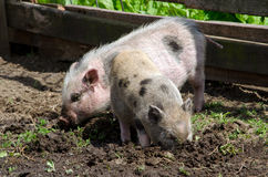 Pair of pot belly pigs rooting in mud Stock Photos