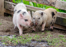 Pair of pot belly pigs Royalty Free Stock Photography