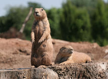 A Pair of Prairie Dogs. Two Prairie dogs on a tree stump, one on lookout, the other resting Stock Image