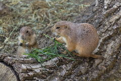 Pair of prairie dogs eat green grass stalk on trunk Stock Photo