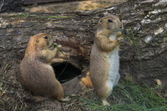 Pair of prairie dogs eat green grass stalk on trunk Stock Images