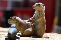 Pair of Prairie Dogs Standing Together royalty free stock photos