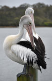 Pair of preening Australian Pelicans. A pair of preening Australian Pelicans (Pelecanus conspicillatus) at the Noosa River, Sunshine Coast, Queenland. With a Stock Photos