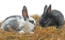 Pair pretty rabbits Stock Photography