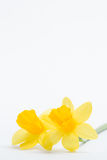 Pair of pretty yellow daffodils with copy space Stock Image