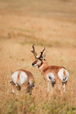 Pair of Pronghorn Antelope Royalty Free Stock Photography