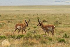 Pair of Pronghorn Antelope Bucks on the Prairie. A pair of pronghorn antelope bucks on the Utah prairie Royalty Free Stock Photography