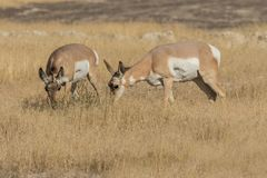 Pronghorn Antelope Does Grazing Stock Photos