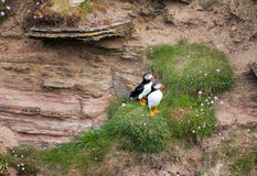 Pair of Puffins Stock Images