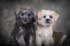 A Pair of Puppies. Two cute mixed breed puppies sitting next to each other Royalty Free Stock Photography