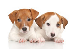 A pair of puppies Jack Russell Stock Images