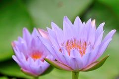 A pair of purple lotus Stock Photos
