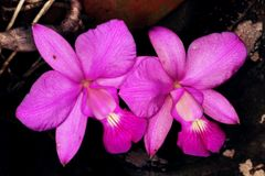 Pair of purple orchid flowers. Beautiful pair of orchid flowers Stock Photography