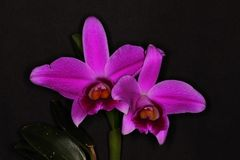 Pair of purple orchid flowers. This is a wonderful pair of orchids flowers from Brazil Royalty Free Stock Photography