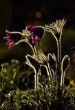 Pair of purple pasqueflower Royalty Free Stock Image