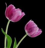Pair Purple Tulips. Pair of purple tulips on black background royalty free stock image