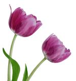 Pair Purple Tulips Royalty Free Stock Photos