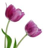 Pair Purple Tulips. Pair of purple tulips on white background royalty free stock photos