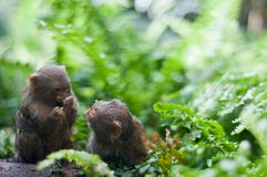 Pair of pygmy monkeys sitting in green grass. Stock Photography