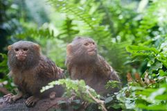 Pair of pygmy monkeys sitting in green grass. Royalty Free Stock Photography