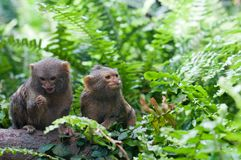 Pair of pygmy monkeys sitting in green grass. Royalty Free Stock Image