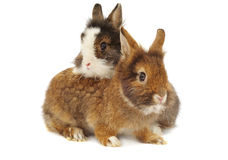 Pair of rabbits. On white background Stock Images