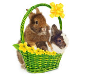 Pair of rabbits in basket with yellow flowers Stock Images