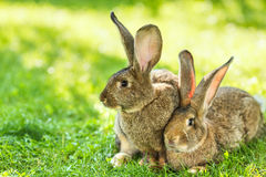 Pair of rabbits sitting in grass Stock Image