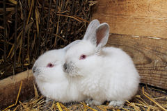 A pair of rabbits. Royalty Free Stock Photo