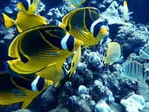 Close Up Pair Raccoon Butterfly Fish Underwater Faces and Detail royalty free stock photography