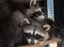 A pair of raccoons photographed cuddling close. In a cage at the zoo is a pair of raccoons on a wooden shelf and caress each other Royalty Free Stock Photo