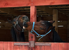Pair race horses in wooden stable Stock Photos
