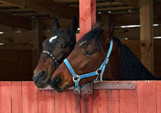 Pair race horses in wooden stable Stock Images