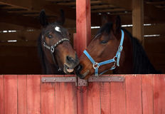 Pair race horses in wooden stable Stock Photography
