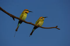 Pair of Rainbow Bee-eaters Royalty Free Stock Photos