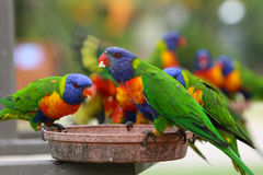 A pair of Rainbow Lorikeet Royalty Free Stock Photography