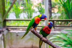 A pair of Rainbow Lorikeet Stock Images